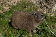 Rock dassie is eating. On a background of grass Stock Photography