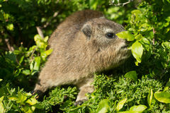 Rock dassie Stock Images