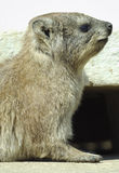 Rock Dassie portrait Stock Photos