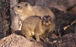 Rock Dassie. Dassie,Rock Dassie (Procavia capensis) Compact build with short legs Royalty Free Stock Photo