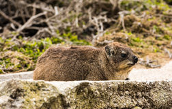 Rock dassie on the rock in South Africa Royalty Free Stock Image