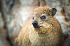 Rock Dassie South Africa Royalty Free Stock Photo