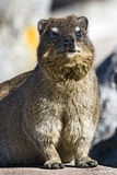 Rock dassie on Table Mountain Royalty Free Stock Image