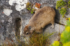 Rock dassie, on Table Mountain, Cape Town, South Africa. Royalty Free Stock Image