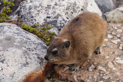 Rock dassie on Table Mountain, Cape Town, South Africa. Royalty Free Stock Photography