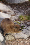 Rock dassie on Table Mountain, Cape Town, South Africa. Stock Image