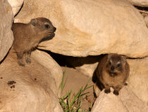Rock-dassies Stock Image