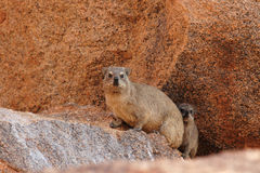 Rock Dassies. (Procavia capensis) in Namibia stock photos