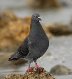 Rock dove Royalty Free Stock Photos