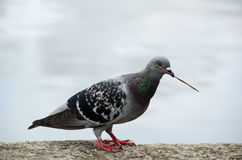 Rock Dove Royalty Free Stock Photography