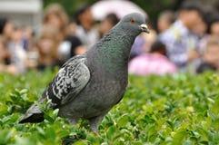 Rock dove. (Columba livia) on a green bush royalty free stock image