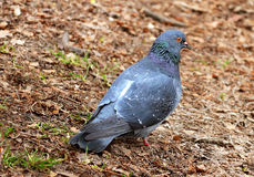 Rock Dove Royalty Free Stock Images