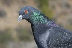 Rock Dove (Columba livia) Royalty Free Stock Images