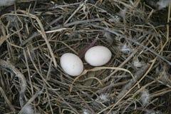 Rock dove, Columba livia Royalty Free Stock Photos