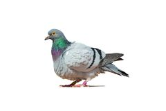 The rock dove Stock Photo