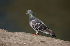 Rock dove, Columba livia, Royalty Free Stock Image