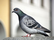 Rock Dove or Common Pigeon stock photo