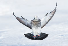 Rock dove in flight Stock Photography