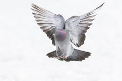 Rock dove in flight Royalty Free Stock Photos