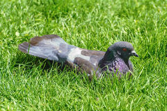 Rock Dove Stock Image