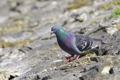 Rock dove Stock Photos