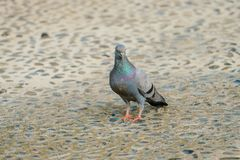 Rock dove is looking something to eat in the afternoon sunday. Rock dove is looking something to eat in the summer afternoon sunday royalty free stock image