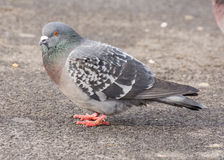 Rock Dove Perched Stock Photos
