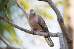 Rock dove perched on a tree branch with green leaves. Under the sun Royalty Free Stock Image