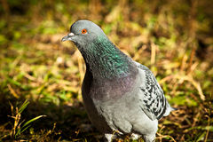 Rock Dove, Pigeon, Columba livia Stock Photography