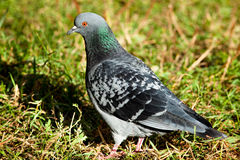 Rock Dove, Pigeon, Columba livia Stock Photo