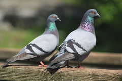 Rock Dove. The rock dove or rock pigeon is a member of the bird family Columbidae (doves and pigeons). In common usage, this bird is often simply Royalty Free Stock Image