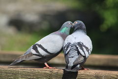 Rock Dove. The rock dove or rock pigeon is a member of the bird family doves and pigeons. In common usage, this bird is often simply referred to as the pigeon Stock Photo