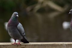 Rock dove pigeons on a wooden rail. A rock dove pigeon joined by another one just showing in the picture Stock Photos