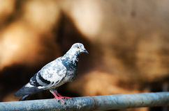 Rock Dove (Rock Pigeon) Royalty Free Stock Images