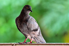 Rock Dove (Rock Pigeon) sitting on a fence Royalty Free Stock Image