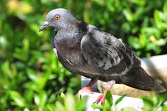 Rock Dove (Rock Pigeon) sitting on a fence Stock Photos