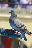 Rock dove sitting on a metal water tap Royalty Free Stock Image