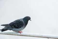 Rock dove standing on bridge handrails Stock Image