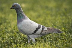 Rock dove stands in the grass. A grey blue rock dove is standing in the grass in a park Royalty Free Stock Image