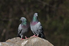 Rock doves Stock Image