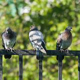 Rock doves on a fence Stock Photography