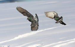 Rock doves in flight Royalty Free Stock Photo