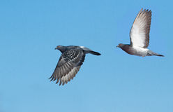 Rock doves in flight Royalty Free Stock Photo