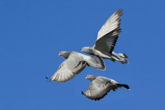 Rock doves in flight Royalty Free Stock Images