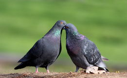 Rock doves in love Stock Photography