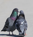 Rock doves in love Royalty Free Stock Photos