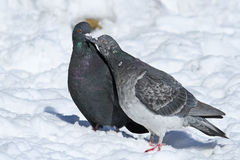 Rock doves in love Royalty Free Stock Photo