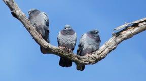 Rock Doves On A Tree Limb On A Sunny Day Royalty Free Stock Photo