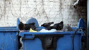 Rock doves swarm in a trash can. Columba livia stock footage