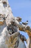 Rock Doves in Tree Stock Image